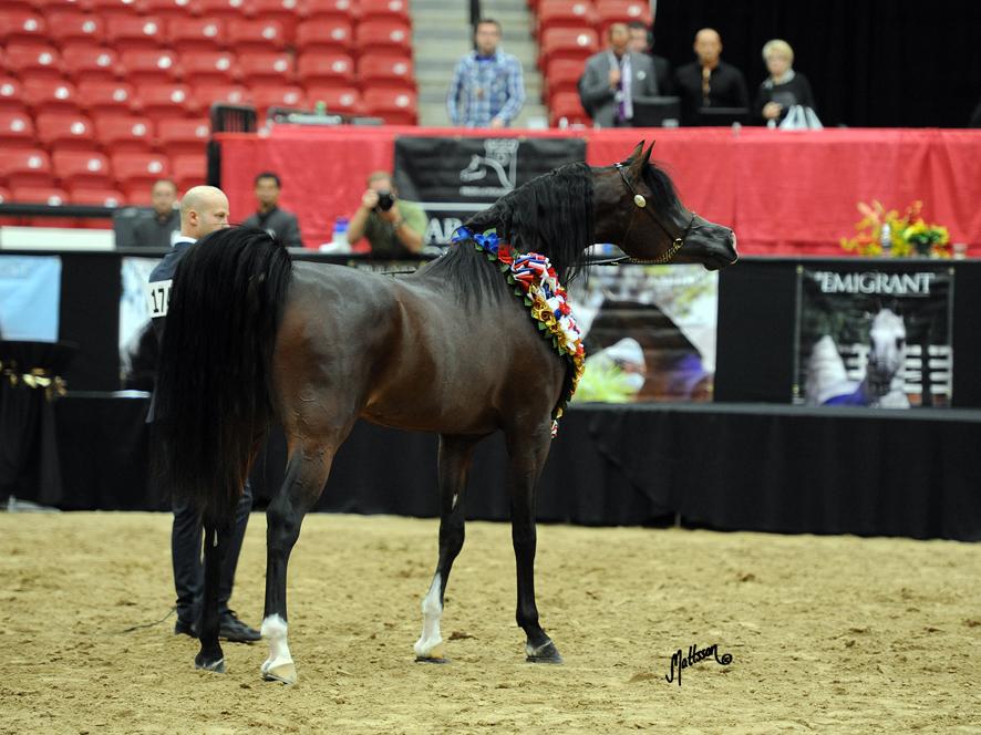 Pogrom - 2012 Arabian Breeders World Cup Champion Stallion