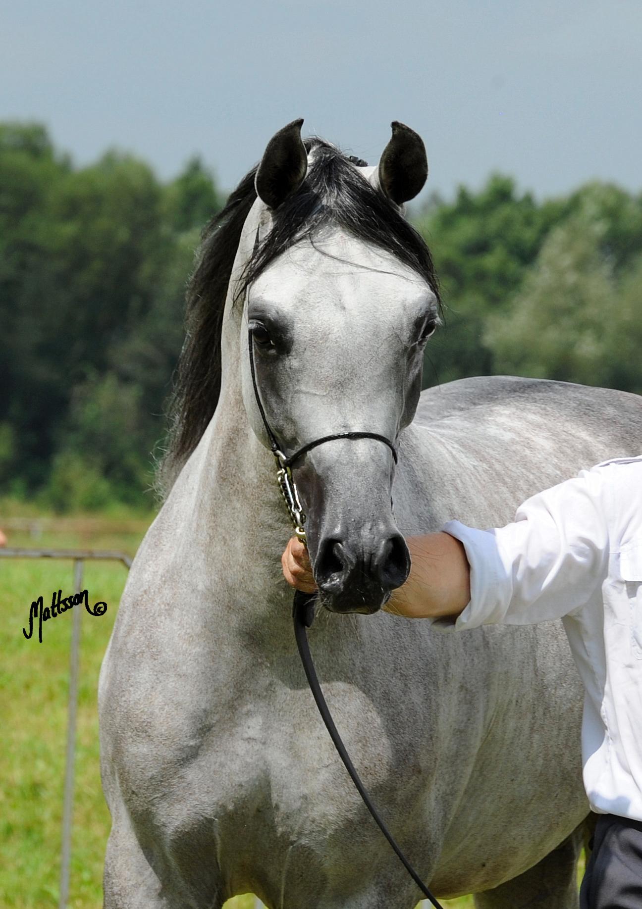 Alert (Piaff-Andaluzja/Sanadik El Shaklan) 2010 Polish National Champion Stallion