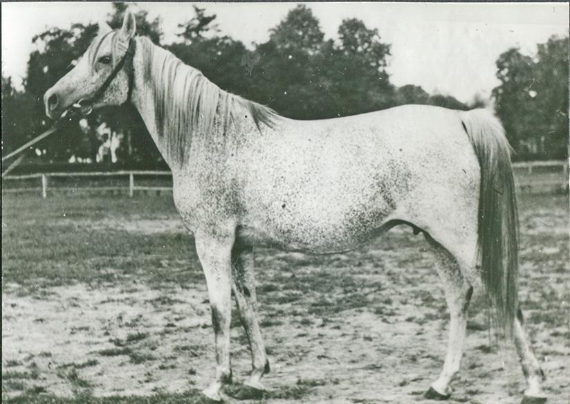 Celia 1949 (Witraz x Balia/Kuhailan Zaid d.b.)