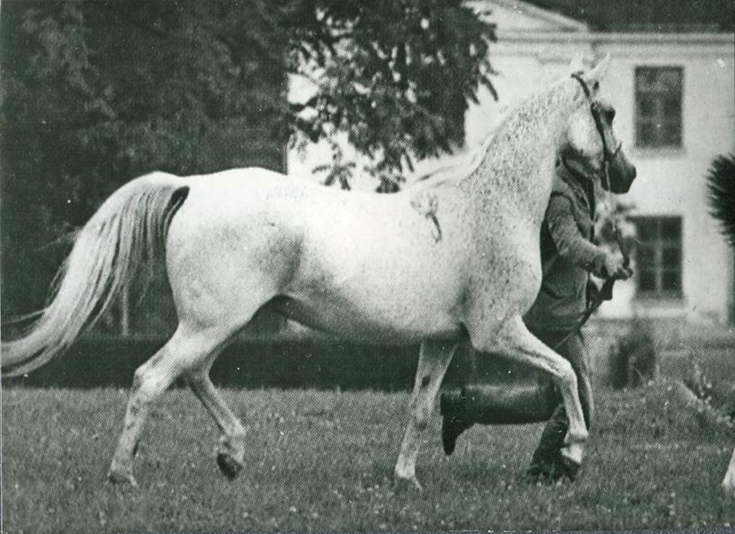 Cewka 1976 (Celebes x Cerisola/Carrador)