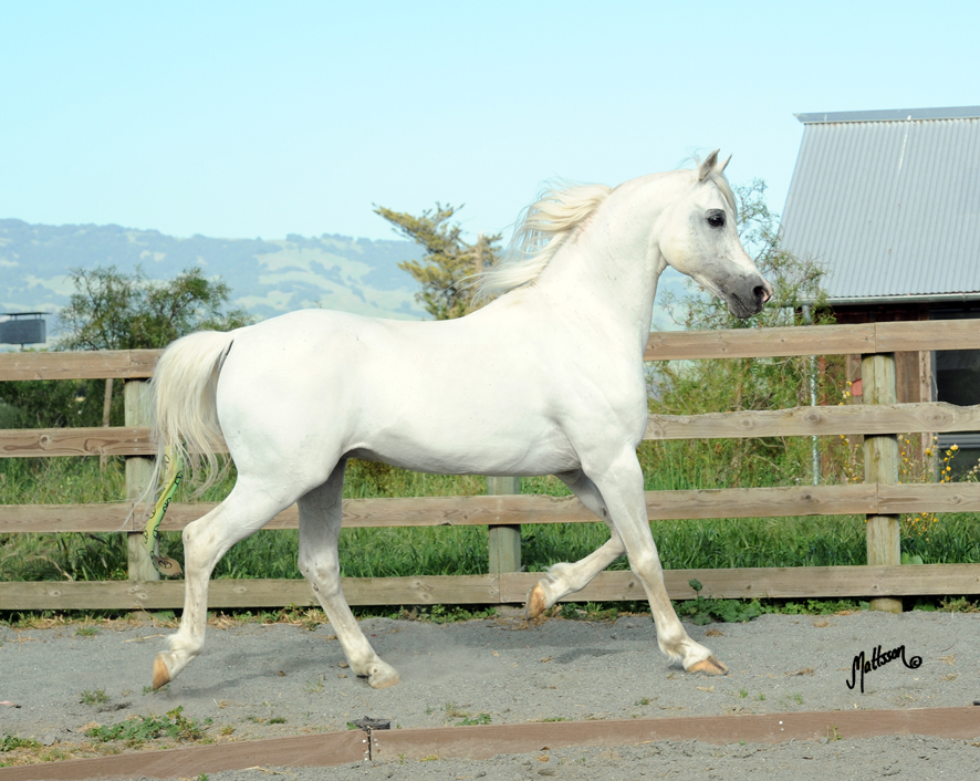 Concensus 1991 (Monogramm x Opalesce/Bandos) bred and owned by Bishop Lane Farm, USA. Photo taken in 2013