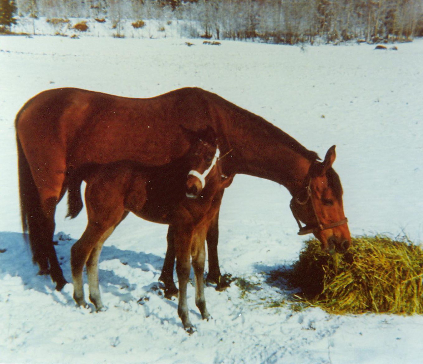 Brita and Rolf Axelsson´s first Arabian mare Edessa (Pietuszok-Ellora/Witraz) and her first born foal at Wilkesbacka - Edjora by Exelsjor. Photo: private