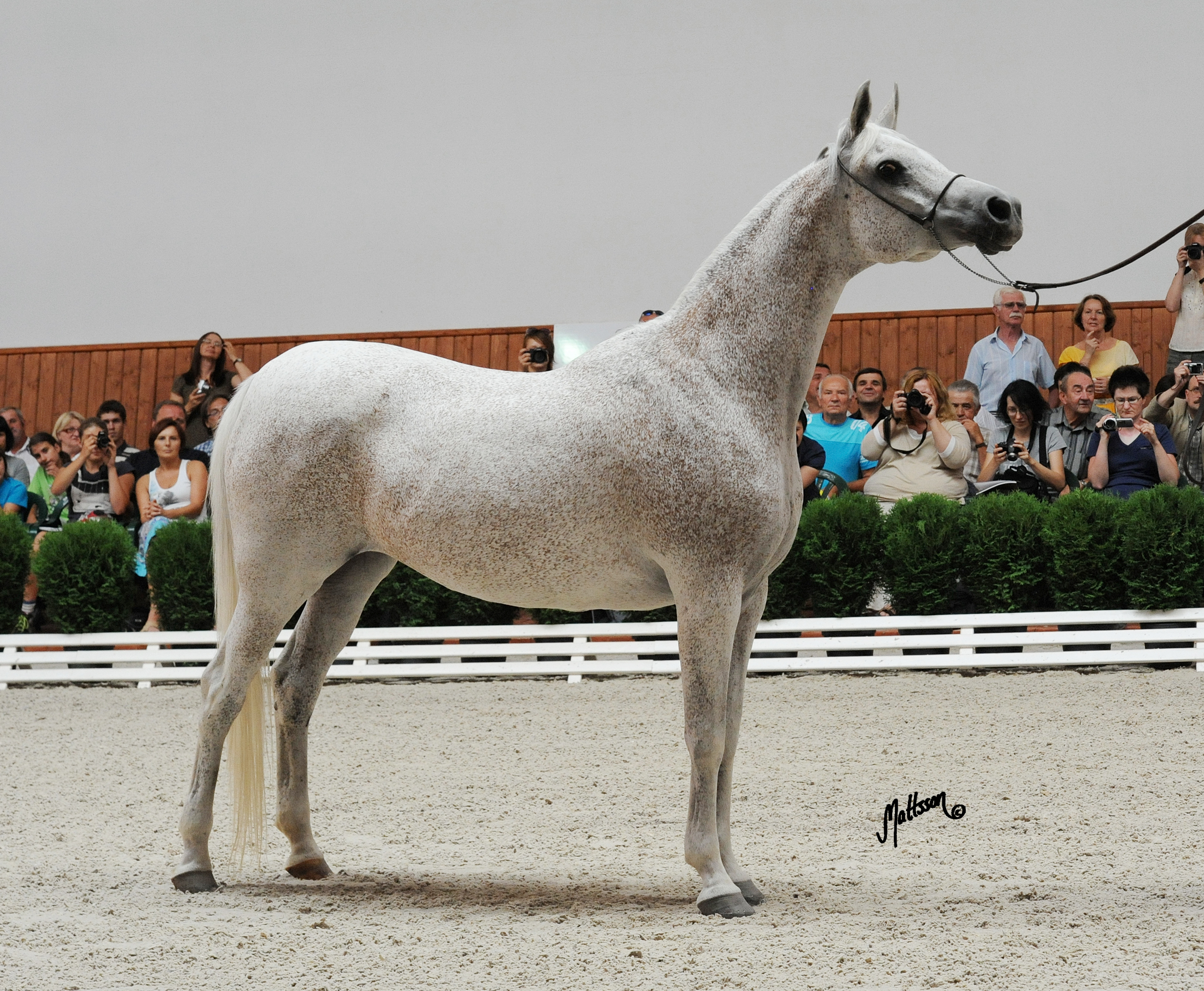 Gaskonia at the Michalow Breeding Parade in August 2010