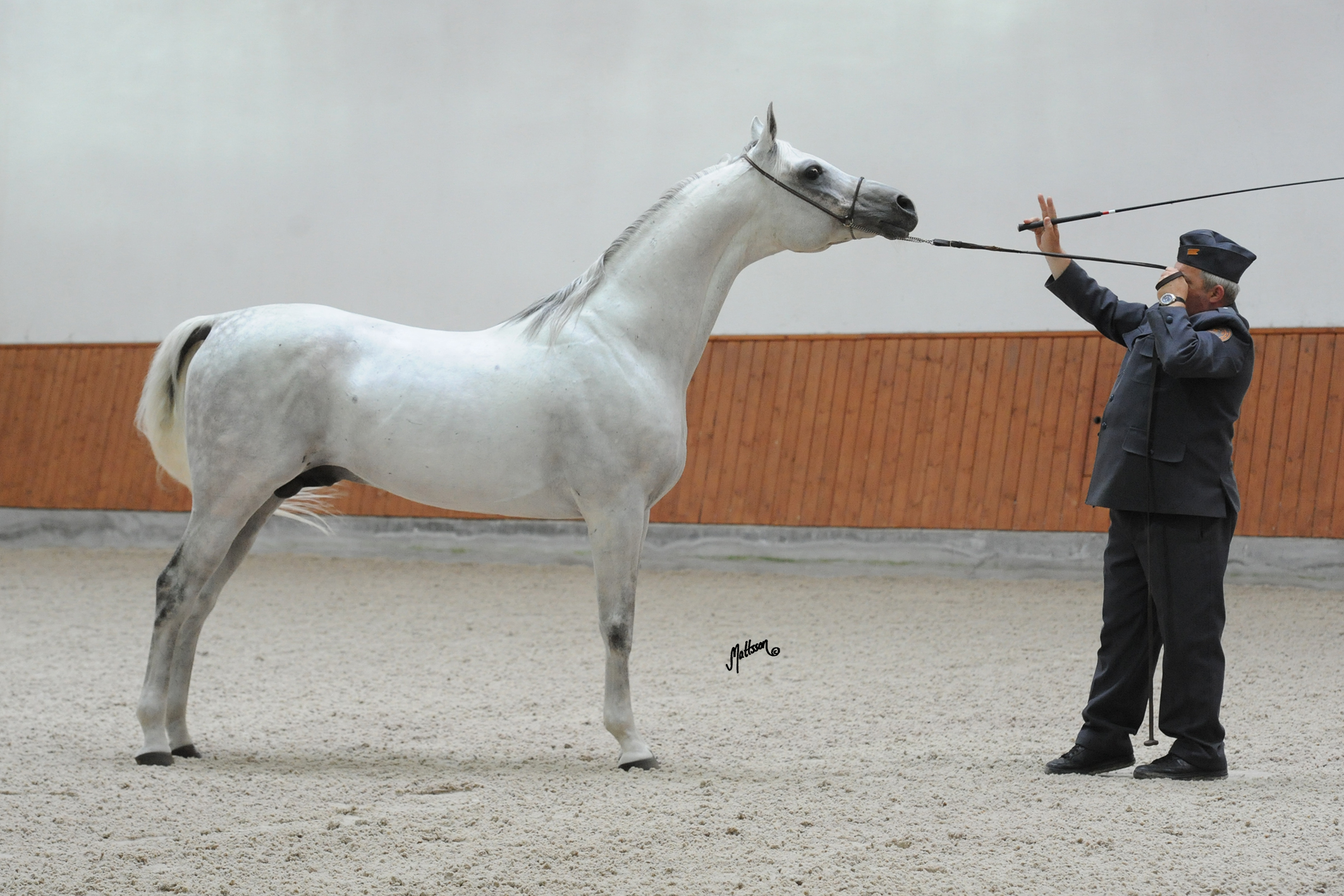 Grafik (Eukaliptus x Gaskonia/Probat) during the Arabian Insights Breeders Tour in 2014