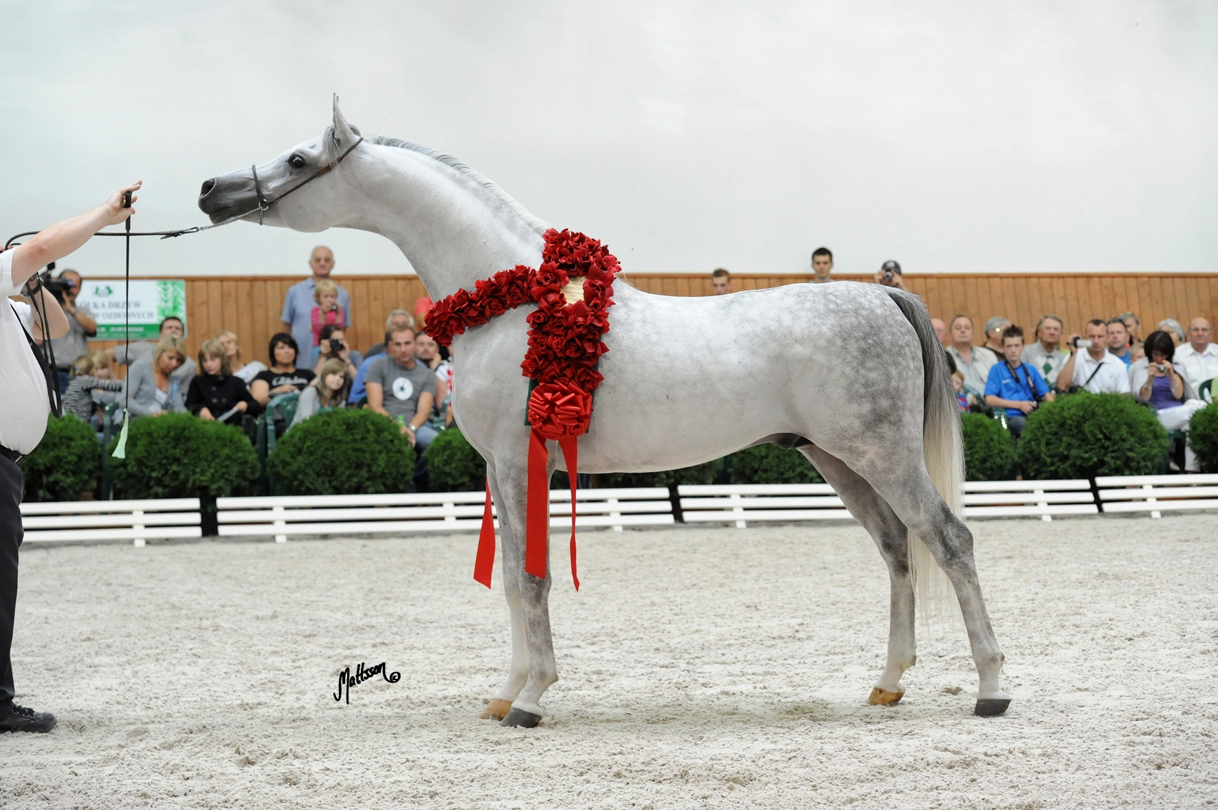 Kabsztad at the Michalow Breeding Parade in August 2011