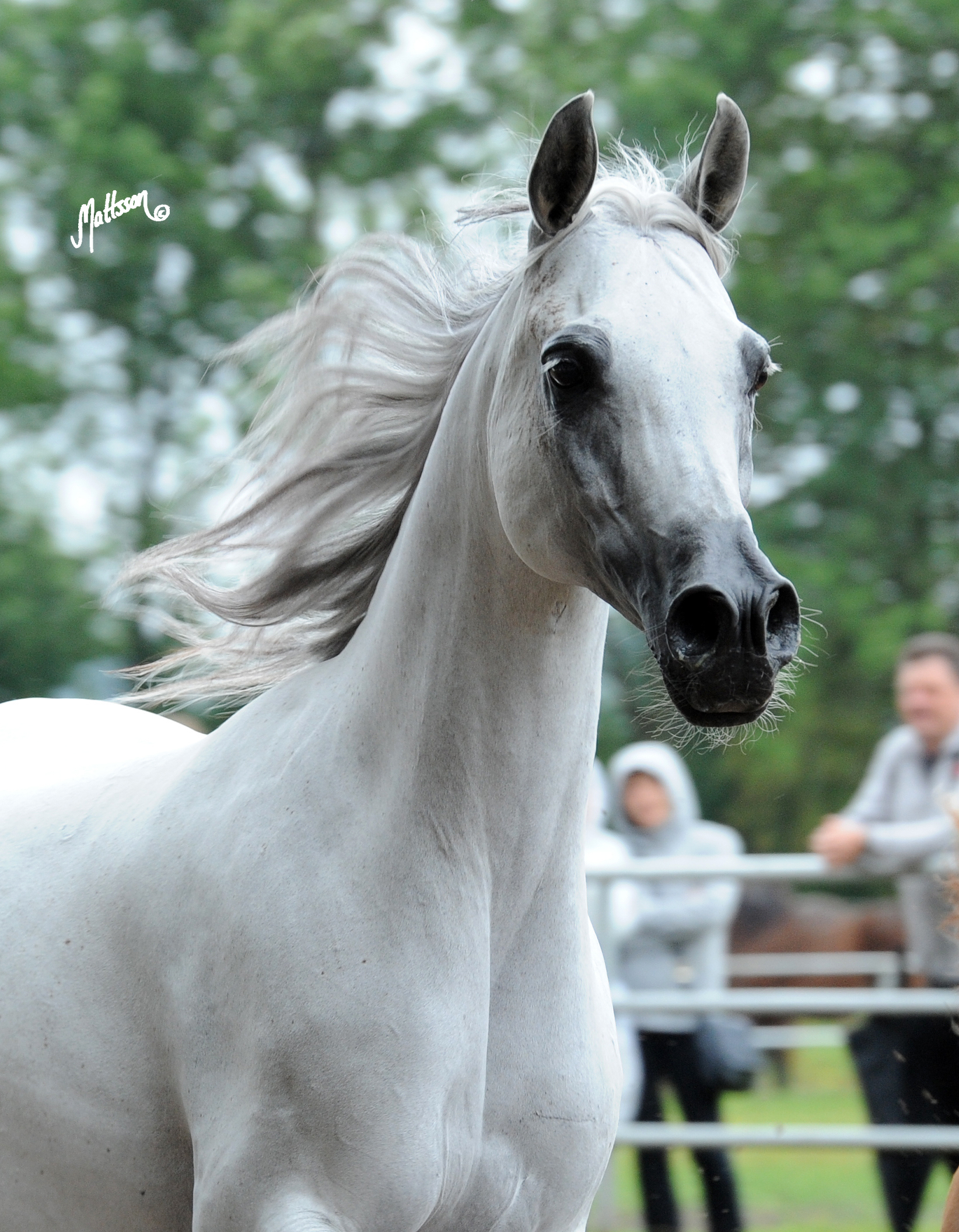 Palmeta at the 2012 Janów Podlaski Breeding Parade - the day after she was named Polish National Champion Mare and Best in Show