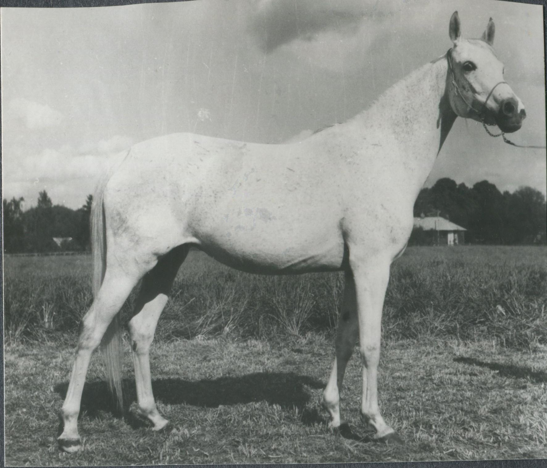 Pierzga 1964 (Negatiw x Piewica/Priboj)
