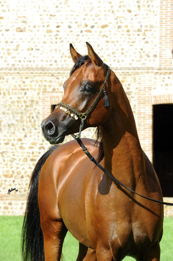 Wesper at Lutetia Arabians in France